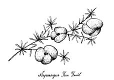 Hand Drawn of Asparagus Fern Fruit on White Background. Berry Fruit, Illustration Hand Drawn Sketch of Fresh Asparagus Fern Fruit Isolated on White Background Stock Photography
