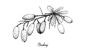 Hand Drawn of Fresh Barberries on White Background Royalty Free Stock Photos