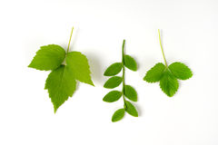 Berry fruit leaves Royalty Free Stock Photo