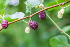 Berry fruit in nature Royalty Free Stock Photo