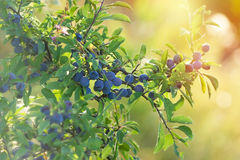 Berry fruit - Sloe lit by sunlight Royalty Free Stock Photos