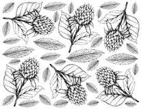 Berry Fruits, Illustratiebehang van Hand de Getrokken Schets Heerlijke Verse Koreaanse Zwarte Frambozen of Vruchten van Rubus Cor royalty-vrije illustratie