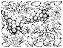 Hand Drawing Background of Red Grapes and Arrayan Fruits. Berry Fruits, Illustration Wallpaper Background of Hand Drawn Sketch Bunch of Red Wine Grapes and Stock Image