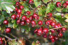 Berry, Hawthorn, Chinese Hawthorn, Lingonberry royalty free stock photos