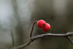 Berry hawthorn Stock Image