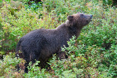 Berry hunting bear Royalty Free Stock Image