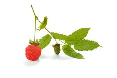 Berry hybrid raspberries with strawberries on the branch isolate. Berry hybrid raspberries with strawberries on the branch  on white background Royalty Free Stock Image