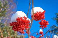 Berry Kalina debajo de la nieve Imágenes de archivo libres de regalías