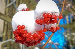 Berry Kalina sob a neve Imagem de Stock