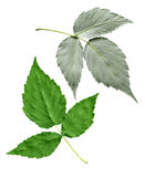 Berry Leaf Royalty Free Stock Image