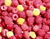 Berry of Malines. Of yellow and crimson colour Stock Photography