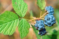 Berry a mature of blackberry. Wood berry a mature of blackberry royalty free stock images