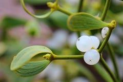 Berry of mistletoe (Viscum album) stock images