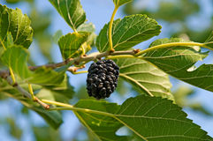 Berry of a mulberry Stock Image