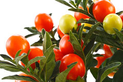 Berry nightshade. Red berries of the nightshade isolated on white background royalty free stock image