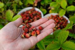 Free Berry On Palm Royalty Free Stock Photo - 43969025