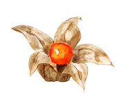 Berry of physalis Royalty Free Stock Image