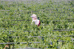 Berry Picker Royalty-vrije Stock Foto