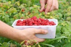 Berry picking, fresh raspberries. Growing in garden in countryside Royalty Free Stock Image