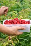 Berry picking fresh raspberries Stock Photo