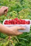 Berry picking fresh raspberries. Berry picking, fresh raspberries growing in garden in countryside Stock Photo