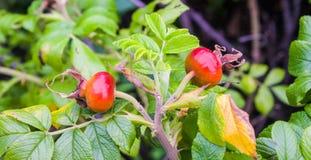 Berry Plant Arkivbild