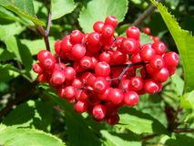 Berry, Plant, Fruit, Rowan royalty free stock photography