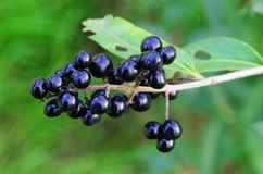 Berry, Plant, Huckleberry, Fruit royalty free stock image
