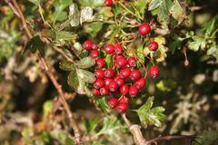 Berry, Plant, Lingonberry, Heteromeles royalty free stock photos