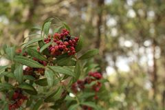 Berry, Plant, Pistacia Lentiscus, Buffaloberries stock photo