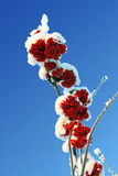 berry popiołu branch czerwonego śnieg zdjęcie stock