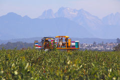 Berry Production in the Fraser Valley Royalty Free Stock Photo