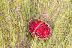 Berry raspberries in a basket on the grass Stock Photography