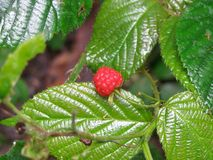 Berry, Raspberries Blackberries And Dewberries, West Indian Raspberry, Mulberry royalty free stock photography