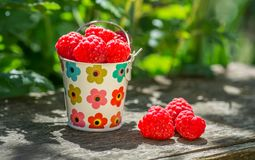 Berry raspberries in a decorative bucket in the garden against the background of green leaves and plants, Royalty Free Stock Photos
