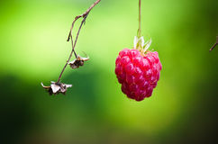 Berry of a raspberry in a garden Royalty Free Stock Photos