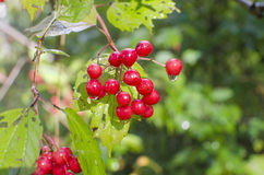 Berry Red Royalty-vrije Stock Fotografie