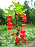 Berry of a red currant on the bush Royalty Free Stock Images