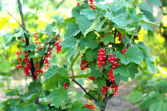 Berry of a red currant on the bush Stock Photography