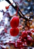 Berry. Red, fresh berry in the backyard Royalty Free Stock Photo