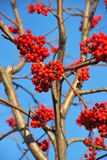 Berry red mountain ash. Berry a red mountain ash on a bush. Sour, useful berry for a forage of birds in the winter Royalty Free Stock Photos
