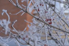 Red mountain ash and other plants under the snow. Russian winter 2018. stock images