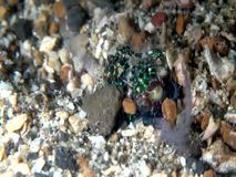 Berry`s Bobtail Squid hiding in the sand in the night Lembeh strait Indonesia stock video footage
