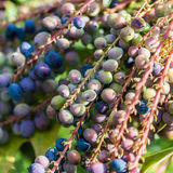 Berry Selection. A close-up of the berries of a mahonia japonica bush stock photos
