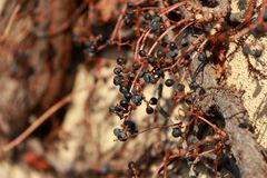 Berry in some sort winter on the dry climber tree climbed on the mortar wall. Closeup some kind of small berry on the branch and dry leaves of tree climbed on Royalty Free Stock Photos