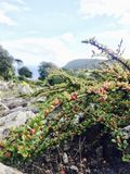 Berry on a stone. Berry stone cliff summer red stock image
