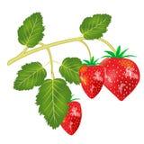 Berry strawberries Stock Photo