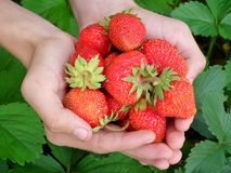 Berry, Strawberry, Hands, Leaves Royalty Free Stock Images