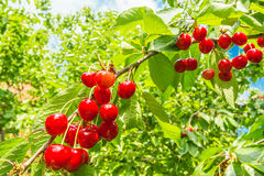 Berry sweet cherry with drops of rain Royalty Free Stock Photography