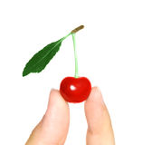 Berry of a sweet cherry in the handle Stock Photography